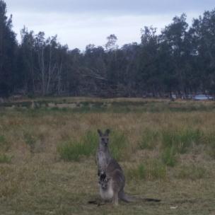 Kangaroo at Bateman's Bay
