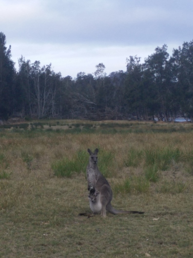 Kangaroo at Bateman's Bay