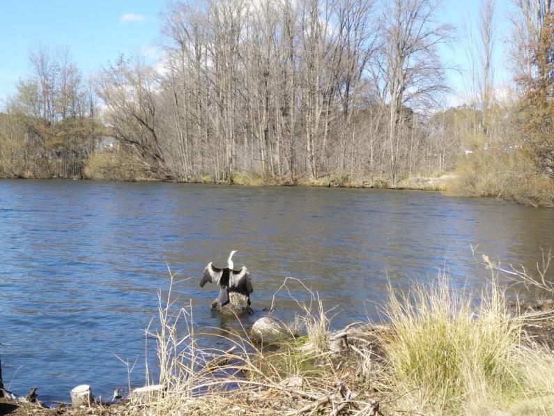 Bird in Lake Burley Griffin